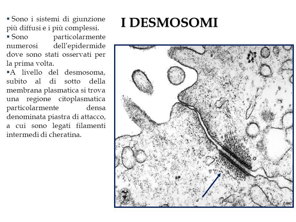 I DESMOSOMI Sono i sistemi di giunzione più diffusi e i più complessi.