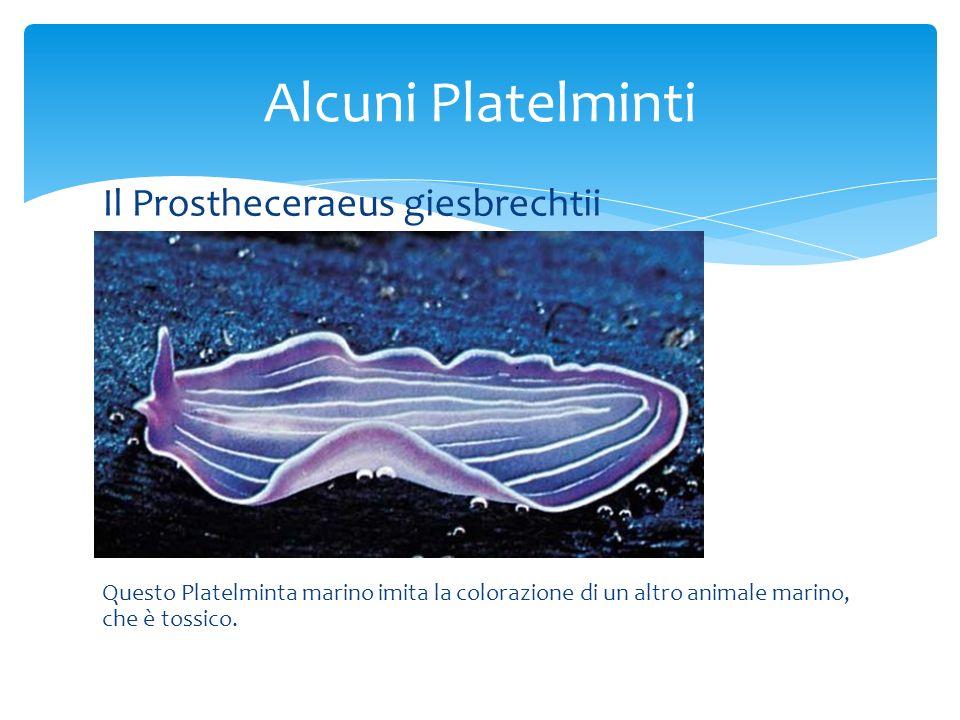Alcuni Platelminti Il Prostheceraeus giesbrechtii