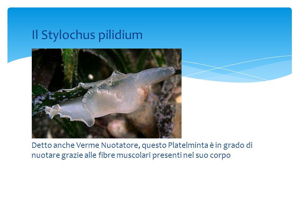 Il Stylochus pilidium Detto anche Verme Nuotatore, questo Platelminta è in grado di nuotare grazie alle fibre muscolari presenti nel suo corpo.