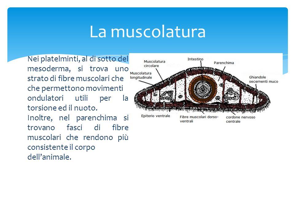 La muscolatura Nei platelminti, al di sotto del
