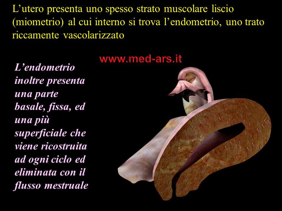 L'utero presenta uno spesso strato muscolare liscio (miometrio) al cui interno si trova l'endometrio, uno trato riccamente vascolarizzato