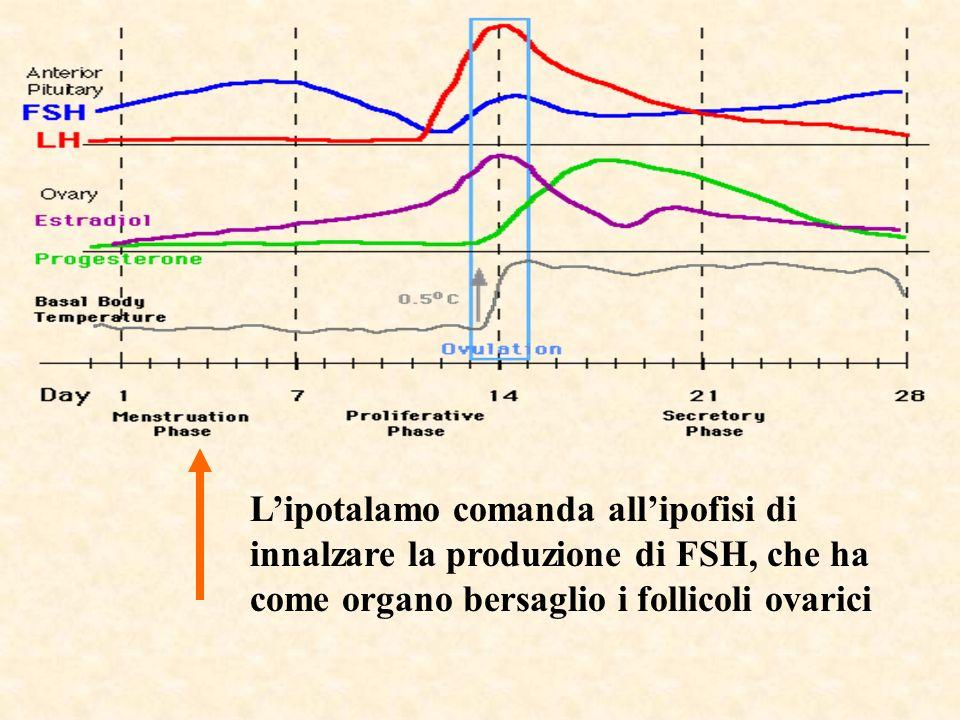 L'ipotalamo comanda all'ipofisi di innalzare la produzione di FSH, che ha come organo bersaglio i follicoli ovarici