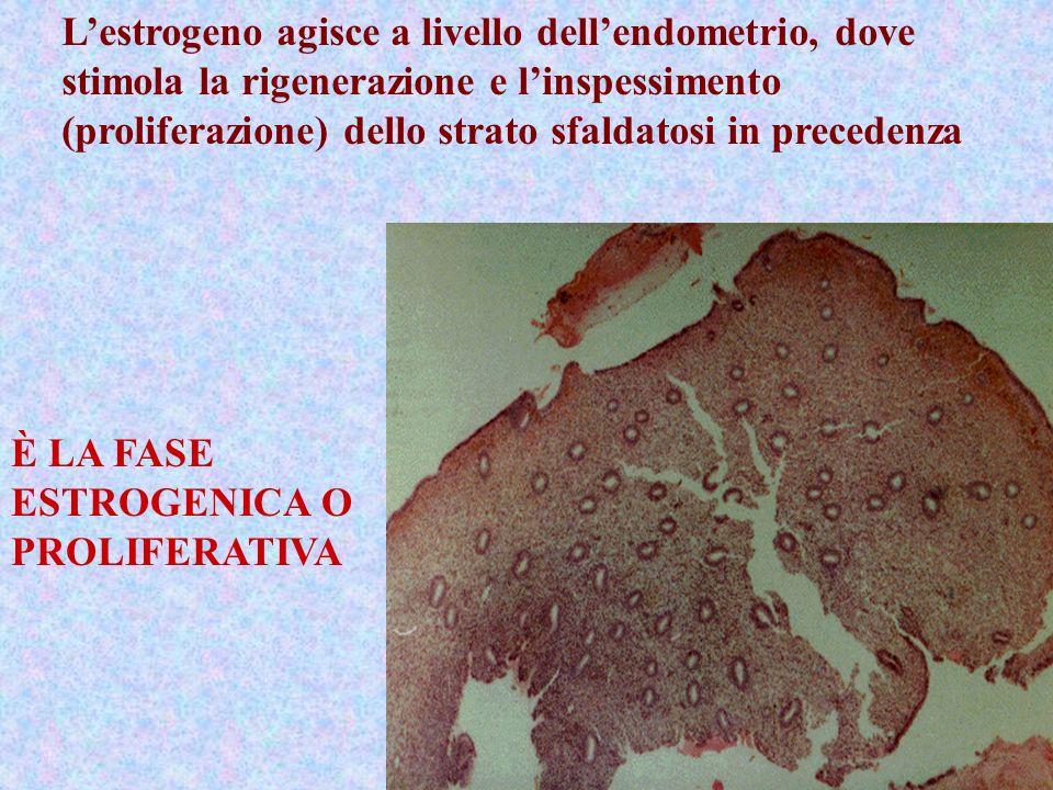 L'estrogeno agisce a livello dell'endometrio, dove stimola la rigenerazione e l'inspessimento (proliferazione) dello strato sfaldatosi in precedenza