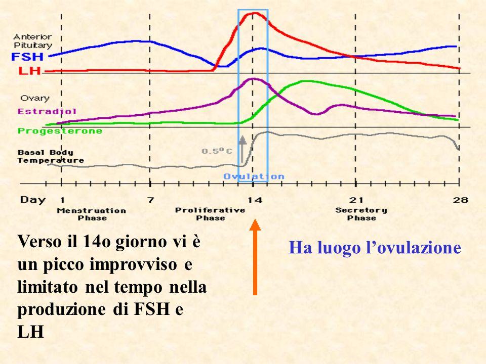 Verso il 14o giorno vi è un picco improvviso e limitato nel tempo nella produzione di FSH e LH