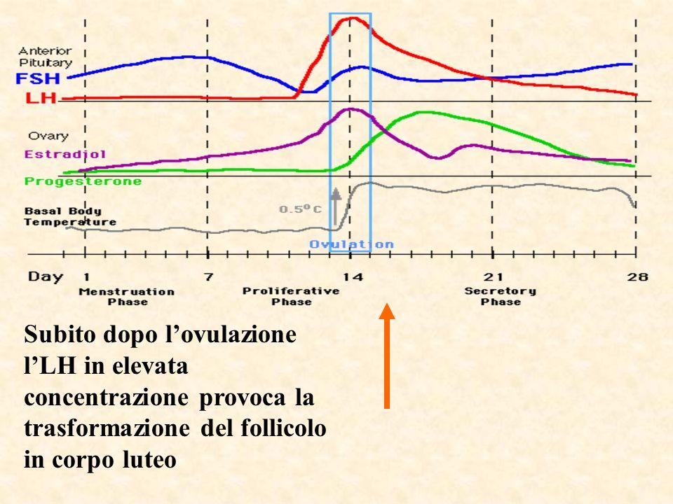 Subito dopo l'ovulazione l'LH in elevata concentrazione provoca la trasformazione del follicolo in corpo luteo