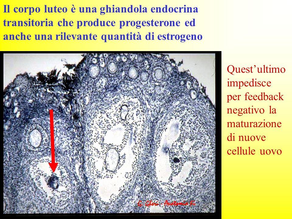 Il corpo luteo è una ghiandola endocrina transitoria che produce progesterone ed anche una rilevante quantità di estrogeno