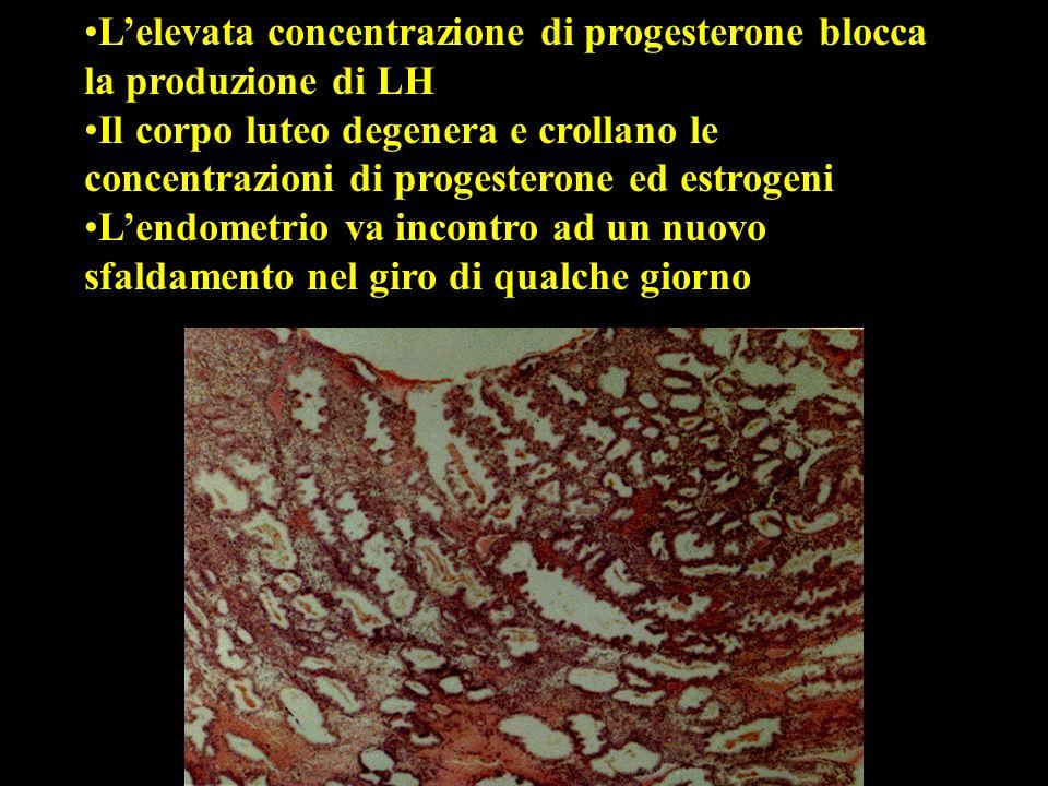 L'elevata concentrazione di progesterone blocca la produzione di LH