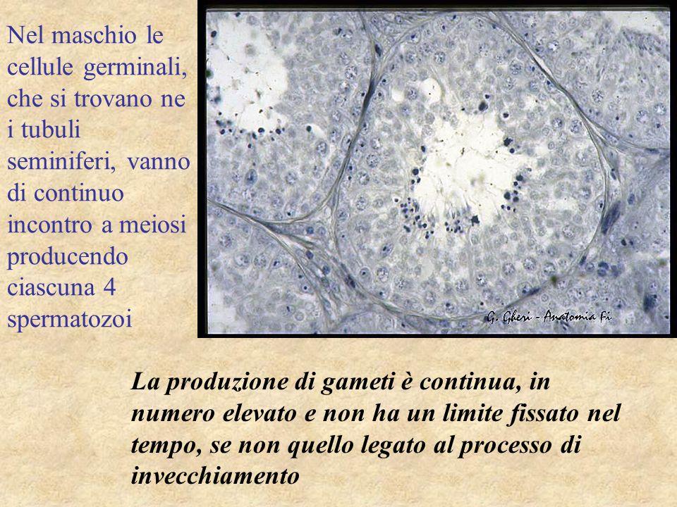 Nel maschio le cellule germinali, che si trovano ne i tubuli seminiferi, vanno di continuo incontro a meiosi producendo ciascuna 4 spermatozoi
