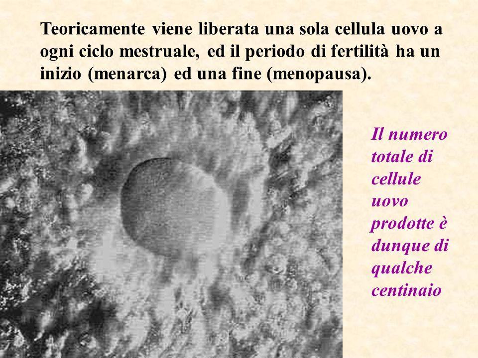 Teoricamente viene liberata una sola cellula uovo a ogni ciclo mestruale, ed il periodo di fertilità ha un inizio (menarca) ed una fine (menopausa).