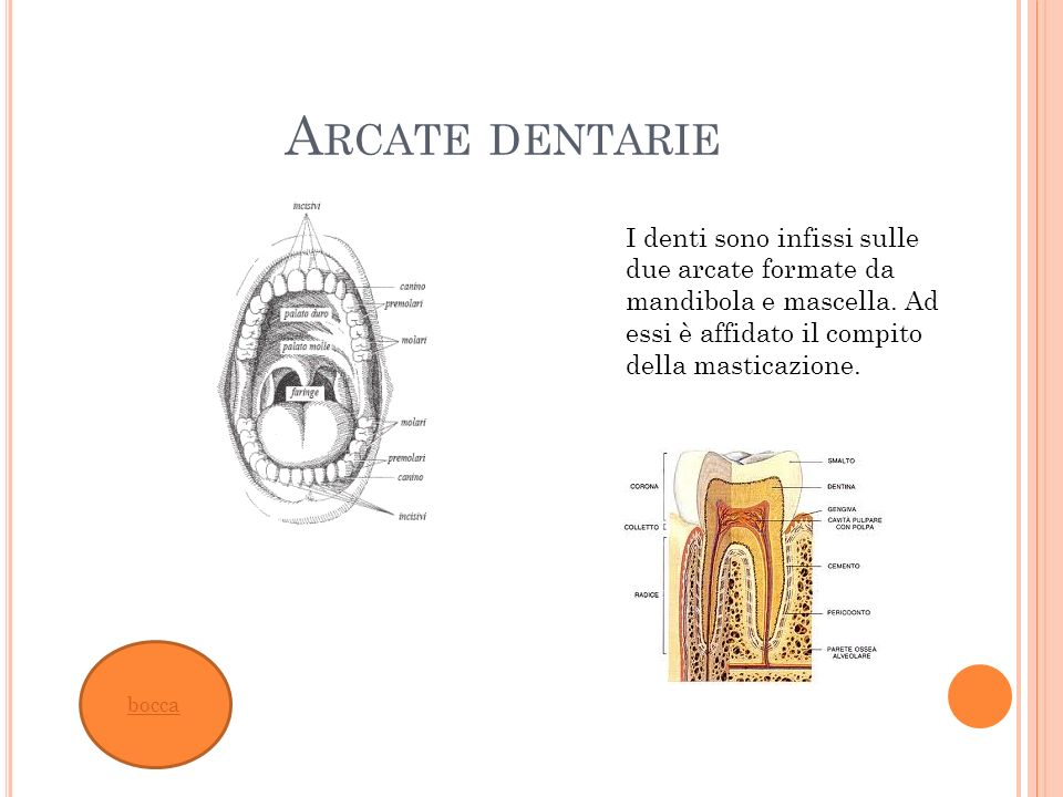 Arcate dentarie I denti sono infissi sulle due arcate formate da mandibola e mascella. Ad essi è affidato il compito della masticazione.