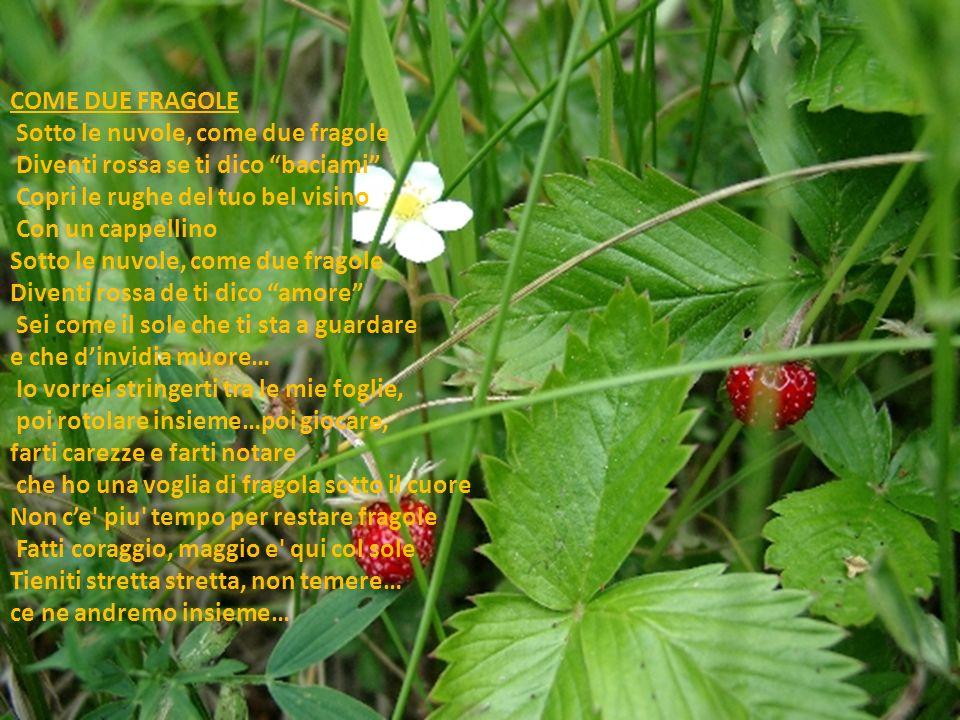 COME DUE FRAGOLE Sotto le nuvole, come due fragole Diventi rossa se ti dico baciami Copri le rughe del tuo bel visino Con un cappellino Sotto le nuvole, come due fragole Diventi rossa de ti dico amore Sei come il sole che ti sta a guardare e che d'invidia muore… Io vorrei stringerti tra le mie foglie, poi rotolare insieme…poi giocare, farti carezze e farti notare che ho una voglia di fragola sotto il cuore Non c'e piu tempo per restare fragole Fatti coraggio, maggio e qui col sole Tieniti stretta stretta, non temere… ce ne andremo insieme…