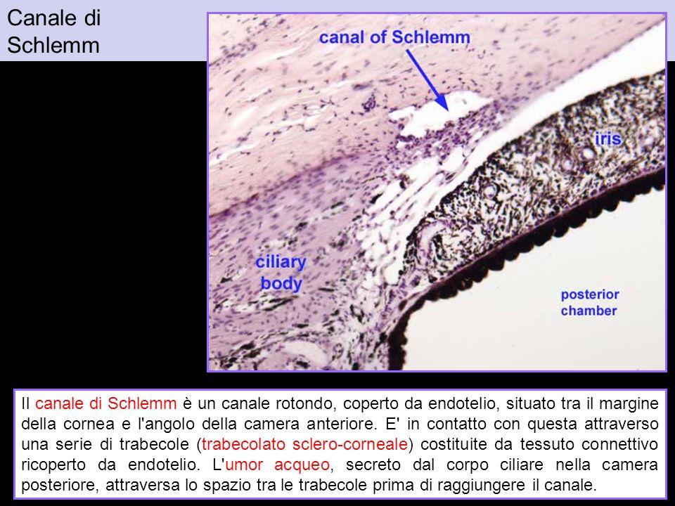 Canale di Schlemm. Figura da: http://www.siumed.edu/~dking2/ssb/NM015b.htm.