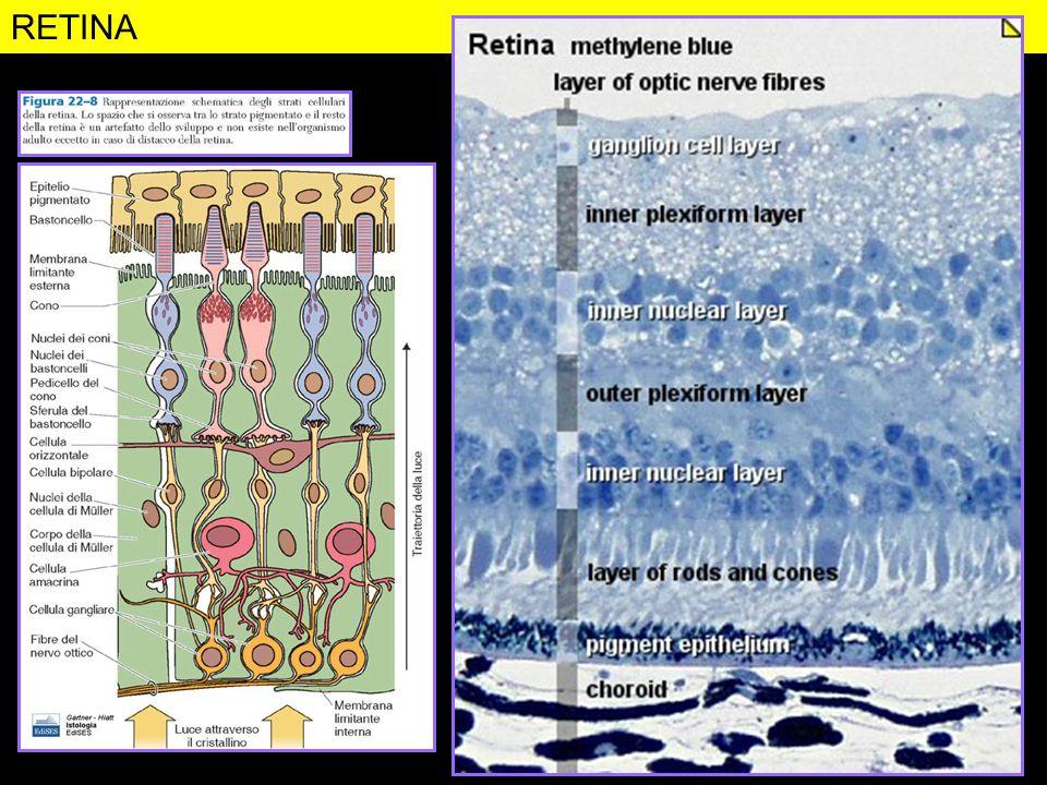 RETINA Figura da: http://www.lab.anhb.uwa.edu.au/mb140/corepages/eye/eye.htm#labcornea.