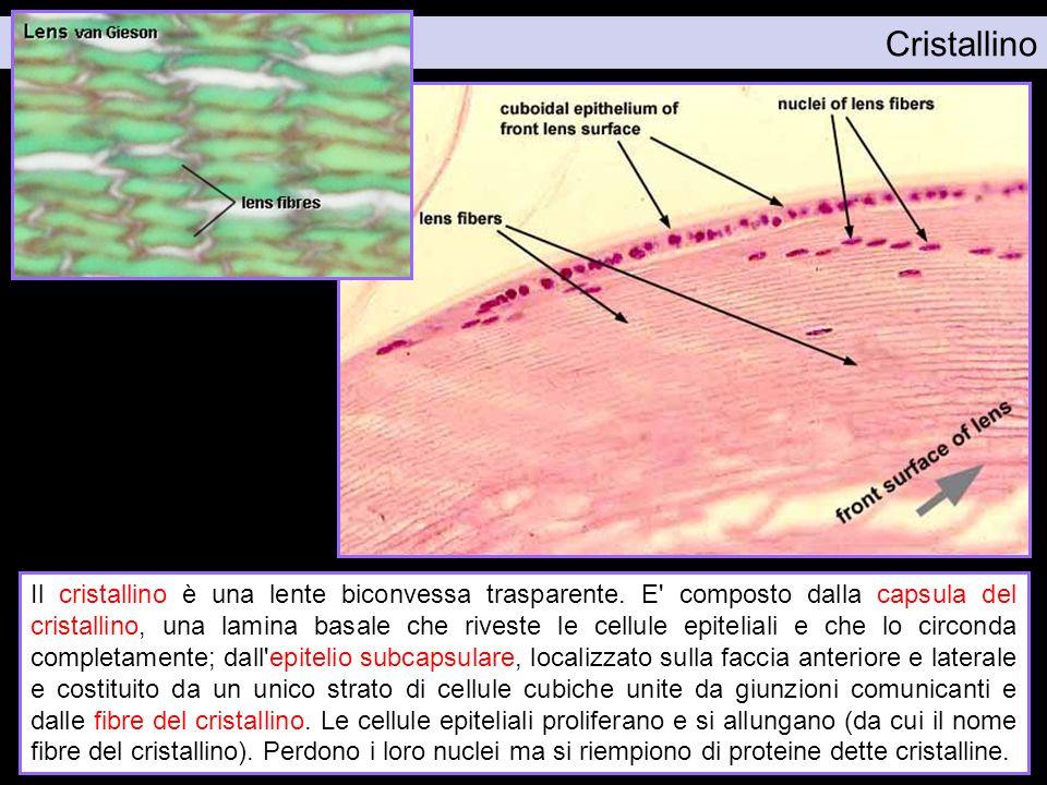 Cristallino Figura da: http://www.siumed.edu/~dking2/ssb/EE011b.htm. Figura da: http://www.lab.anhb.uwa.edu.au/mb140/corepages/eye/eye.htm#labcornea.