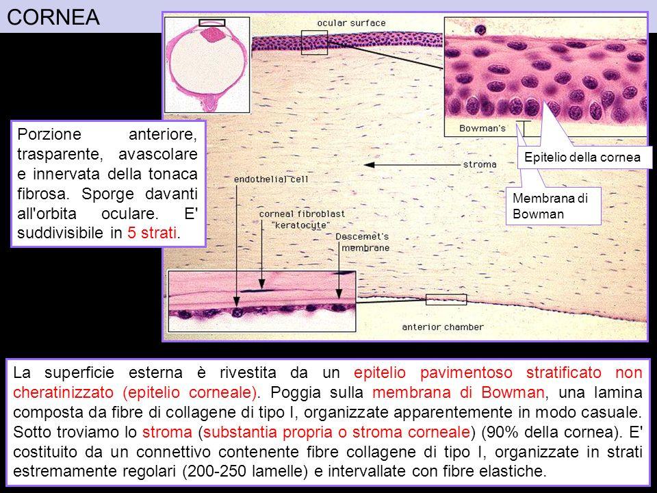 CORNEA Porzione anteriore, trasparente, avascolare e innervata della tonaca fibrosa. Sporge davanti all orbita oculare. E suddivisibile in 5 strati.