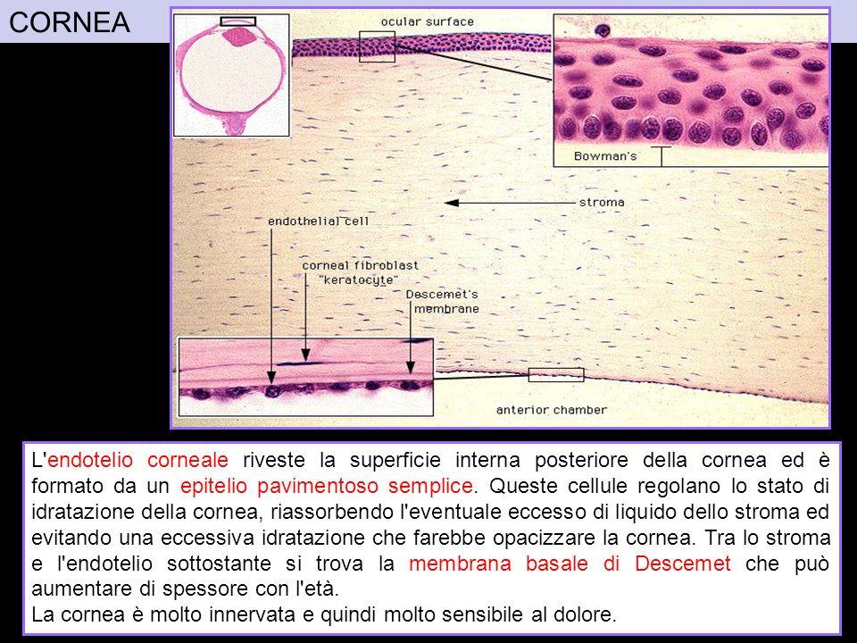 CORNEA Immagini da: http://www.med.umich.edu/histology/powerPoints/anatHistoCorrelates/eyeCorrelates.ppt.