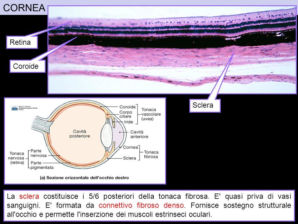 CORNEA Retina Coroide Sclera