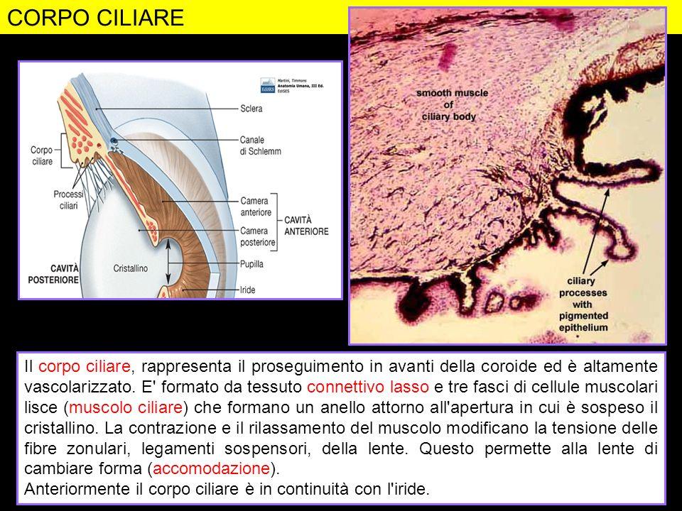 CORPO CILIARE Figura da: http://www.siumed.edu/~dking2/ssb/EE010b.htm. Figura da: Anatomia umana. Martini e Timmons. Edizioni EdiSES.