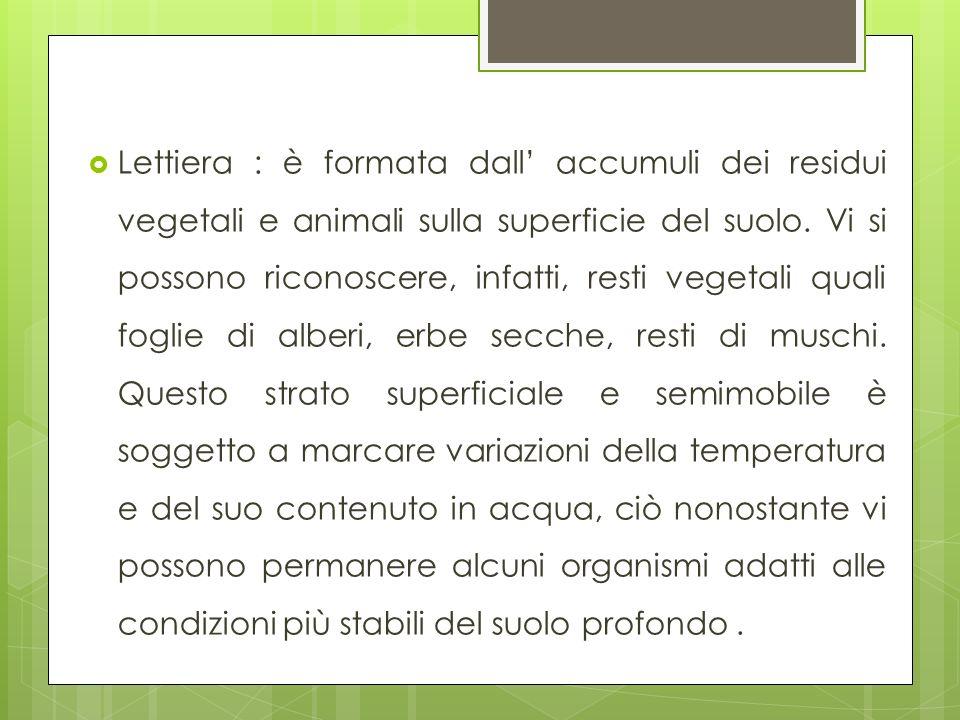 Lettiera : è formata dall' accumuli dei residui vegetali e animali sulla superficie del suolo.