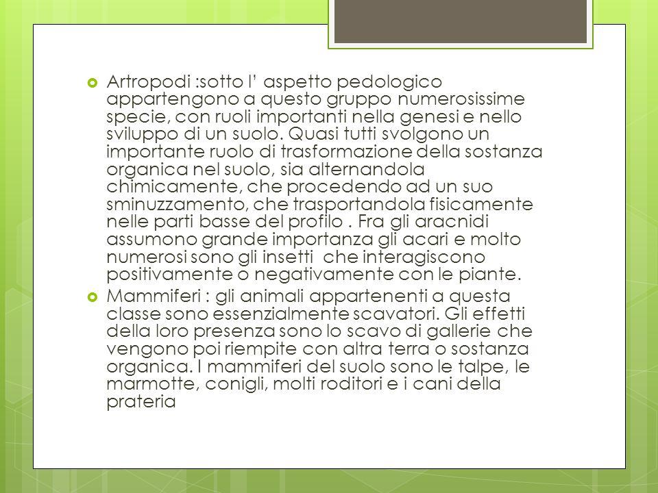 Artropodi :sotto l' aspetto pedologico appartengono a questo gruppo numerosissime specie, con ruoli importanti nella genesi e nello sviluppo di un suolo. Quasi tutti svolgono un importante ruolo di trasformazione della sostanza organica nel suolo, sia alternandola chimicamente, che procedendo ad un suo sminuzzamento, che trasportandola fisicamente nelle parti basse del profilo . Fra gli aracnidi assumono grande importanza gli acari e molto numerosi sono gli insetti che interagiscono positivamente o negativamente con le piante.