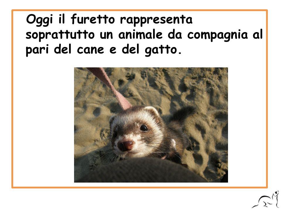 Oggi il furetto rappresenta soprattutto un animale da compagnia al pari del cane e del gatto.