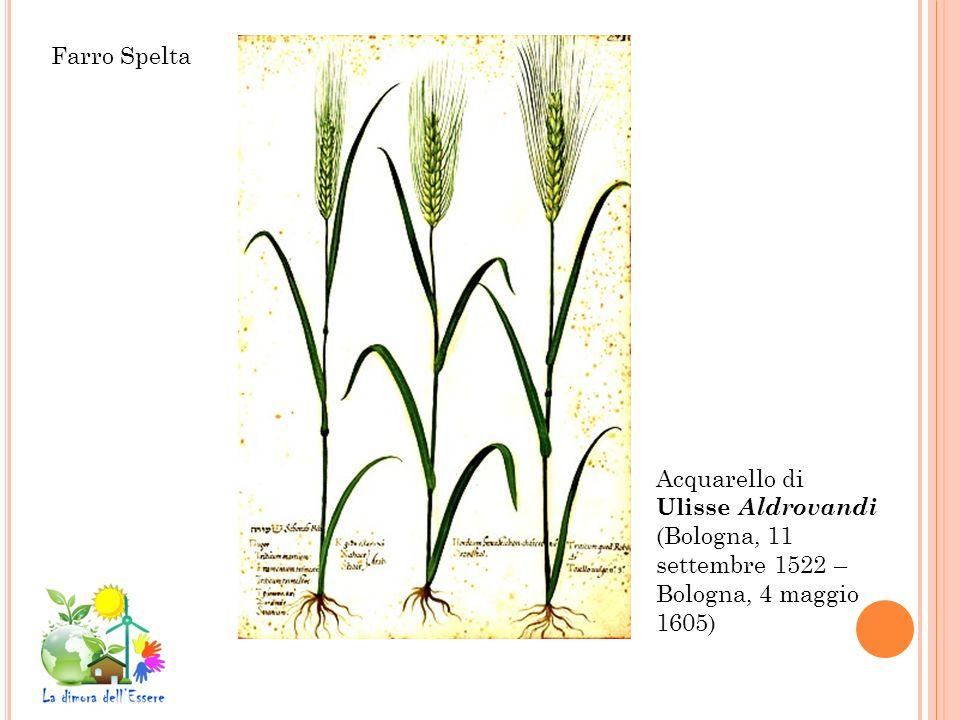 Farro Spelta Acquarello di Ulisse Aldrovandi (Bologna, 11 settembre 1522 – Bologna, 4 maggio 1605)