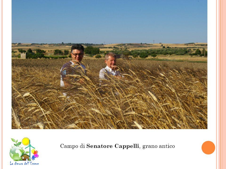 Campo di Senatore Cappelli, grano antico