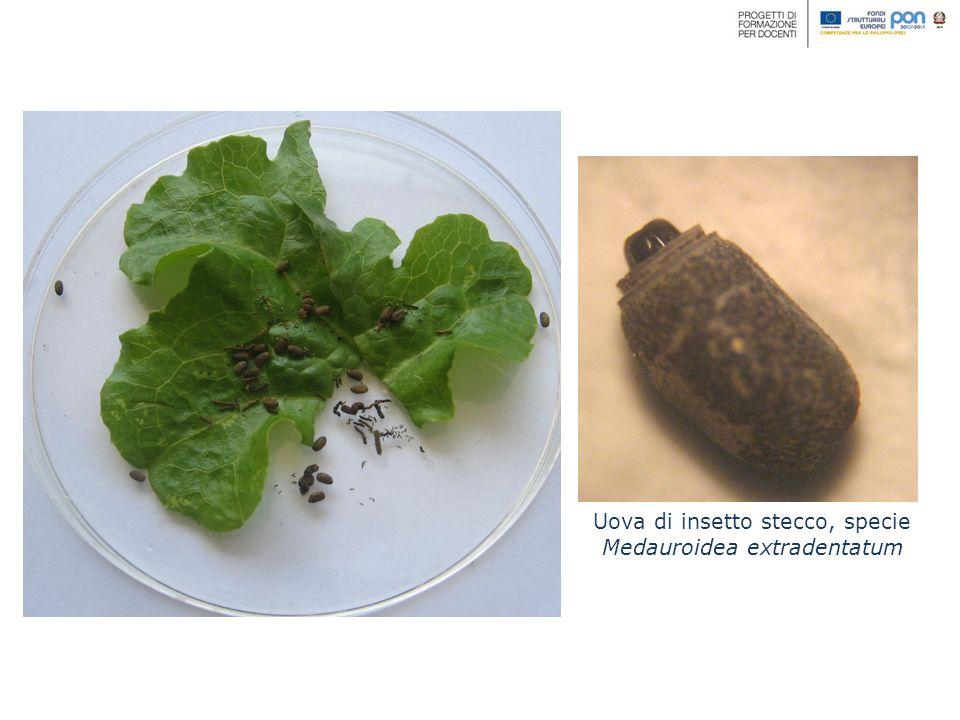 Uova di insetto stecco, specie Medauroidea extradentatum