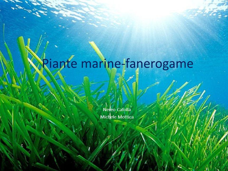 Piante marine-fanerogame