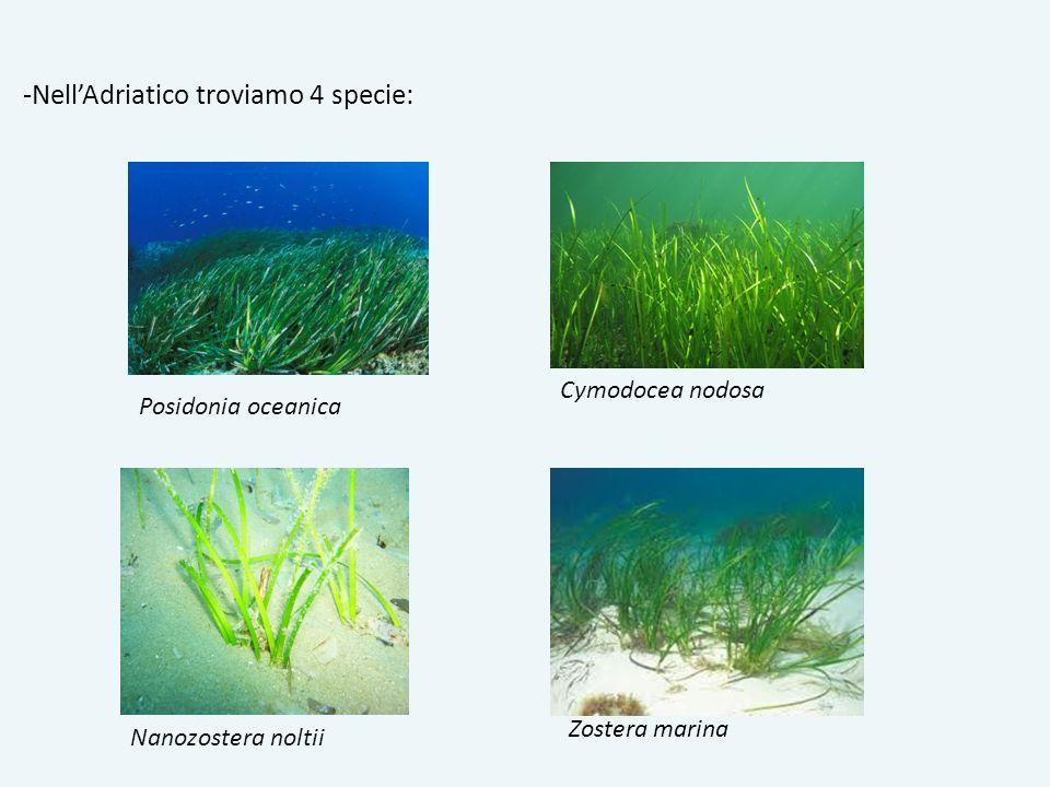 -Nell'Adriatico troviamo 4 specie: