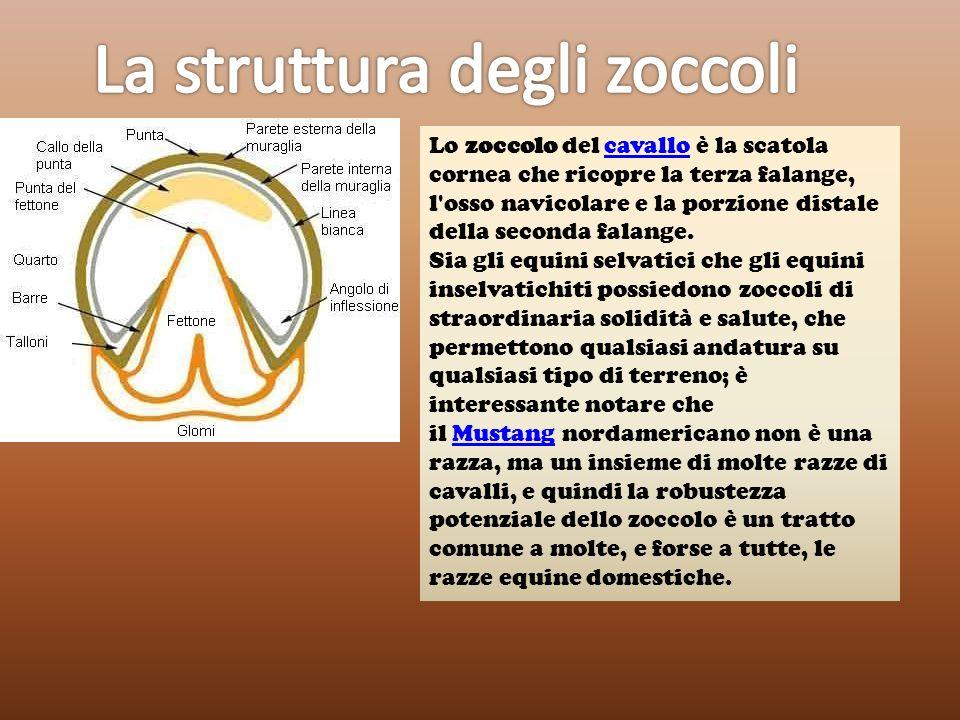 La struttura degli zoccoli