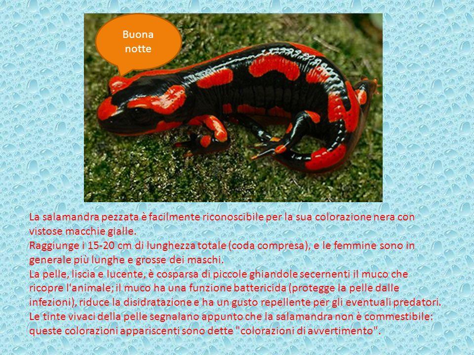 Buona notte La salamandra pezzata è facilmente riconoscibile per la sua colorazione nera con vistose macchie gialle.