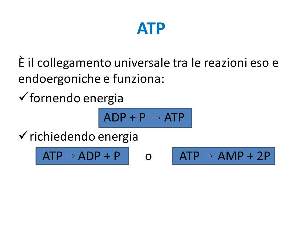 ATP È il collegamento universale tra le reazioni eso e endoergoniche e funziona: fornendo energia.