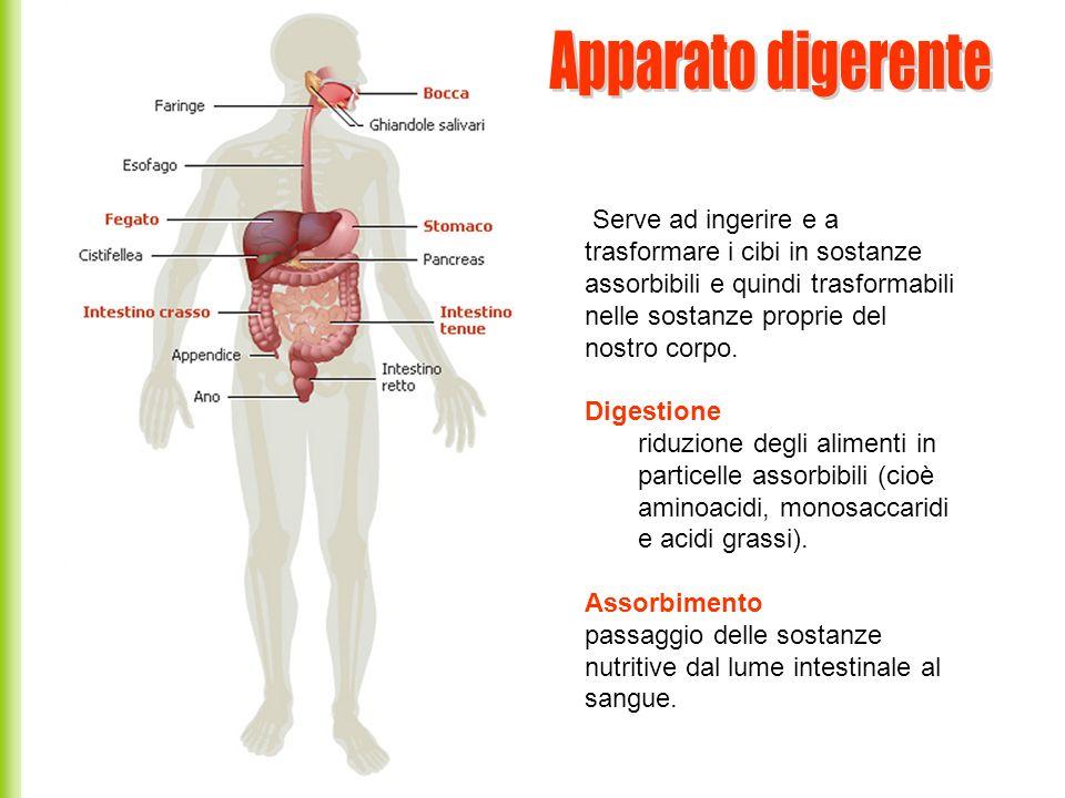 Apparato digerente Serve ad ingerire e a trasformare i cibi in sostanze assorbibili e quindi trasformabili nelle sostanze proprie del nostro corpo.