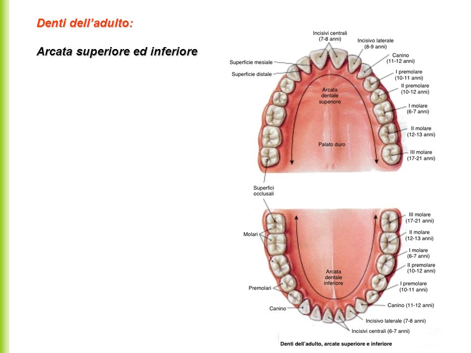 Denti dell'adulto: Arcata superiore ed inferiore