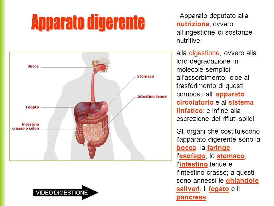 Apparato deputato alla nutrizione, ovvero all'ingestione di sostanze nutritive;