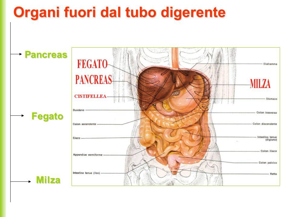 Organi fuori dal tubo digerente