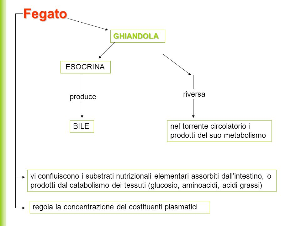 Fegato GHIANDOLA ESOCRINA riversa produce BILE