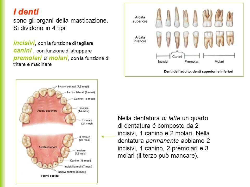 I denti sono gli organi della masticazione. Si dividono in 4 tipi: