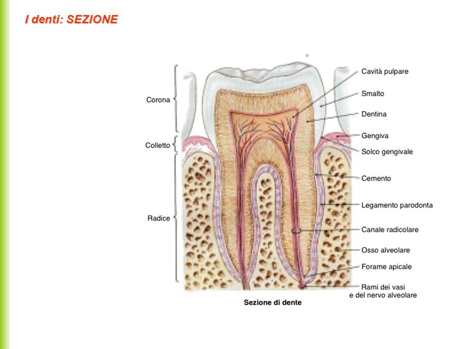 I denti: SEZIONE