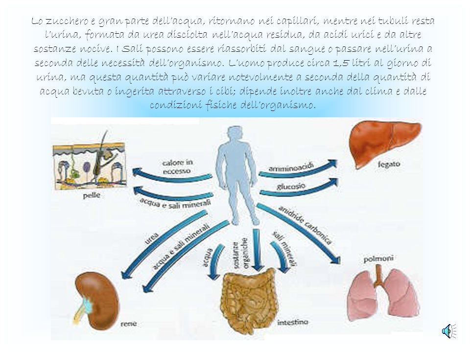 Lo zucchero e gran parte dell'acqua, ritornano nei capillari, mentre nei tubuli resta l'urina, formata da urea disciolta nell'acqua residua, da acidi urici e da altre sostanze nocive.