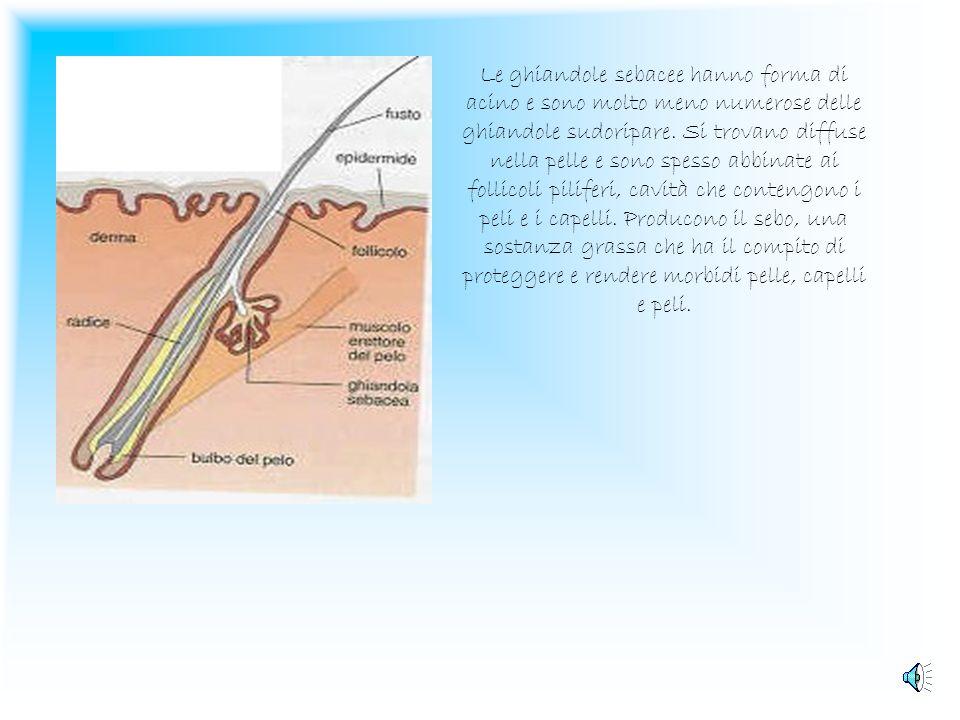 Le ghiandole sebacee hanno forma di acino e sono molto meno numerose delle ghiandole sudoripare.