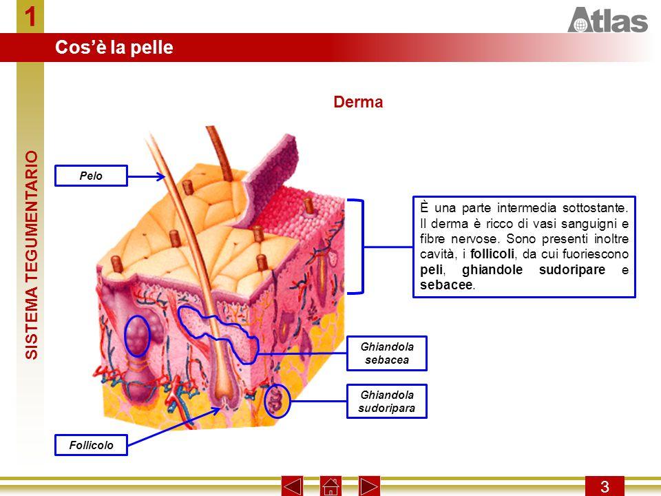 1 Cos'è la pelle Derma SISTEMA TEGUMENTARIO 3