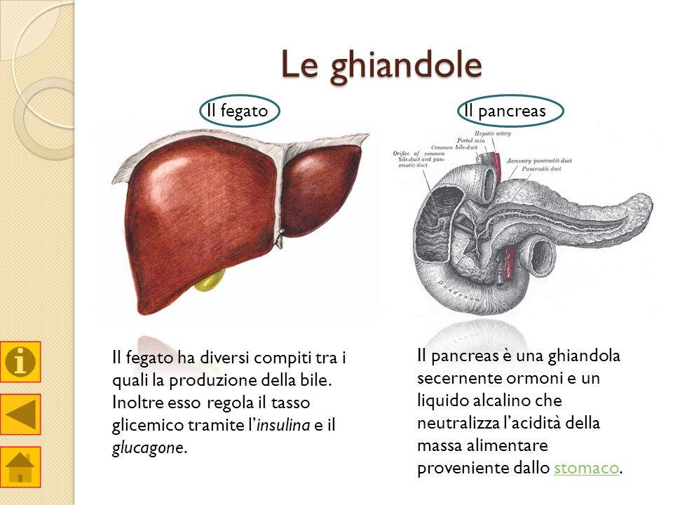 Le ghiandole Il fegato Il pancreas