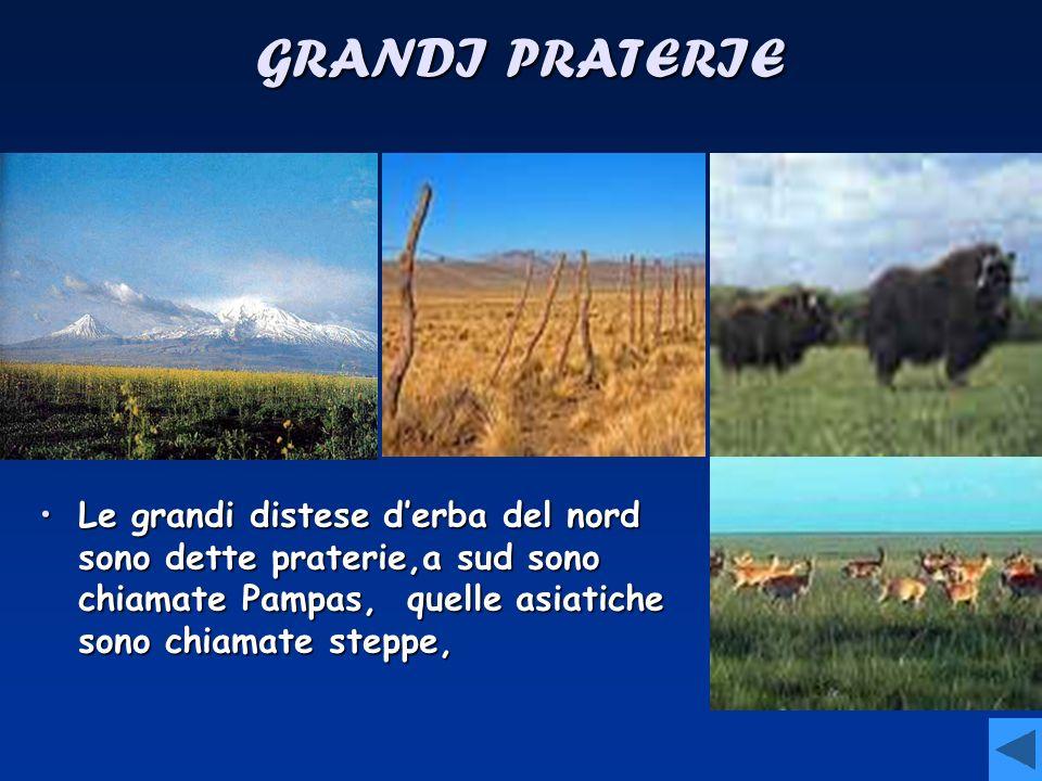 GRANDI PRATERIE Le grandi distese d'erba del nord sono dette praterie,a sud sono chiamate Pampas, quelle asiatiche sono chiamate steppe,