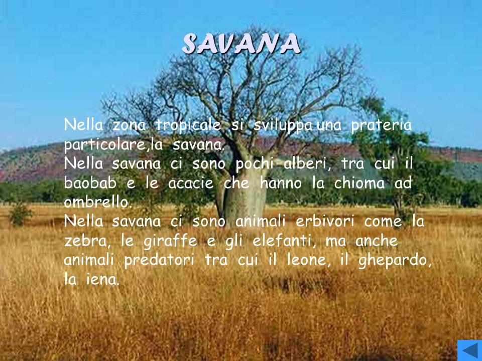 SAVANA Nella zona tropicale si sviluppa una prateria particolare,la savana.