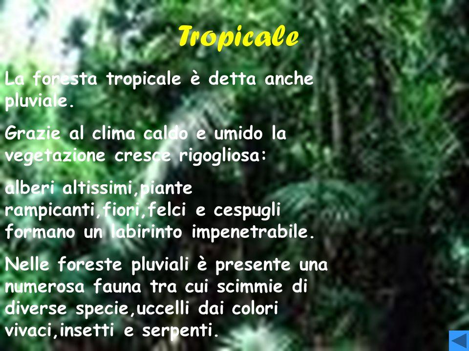 Tropicale T+ ropicale La foresta tropicale è detta anche pluviale.