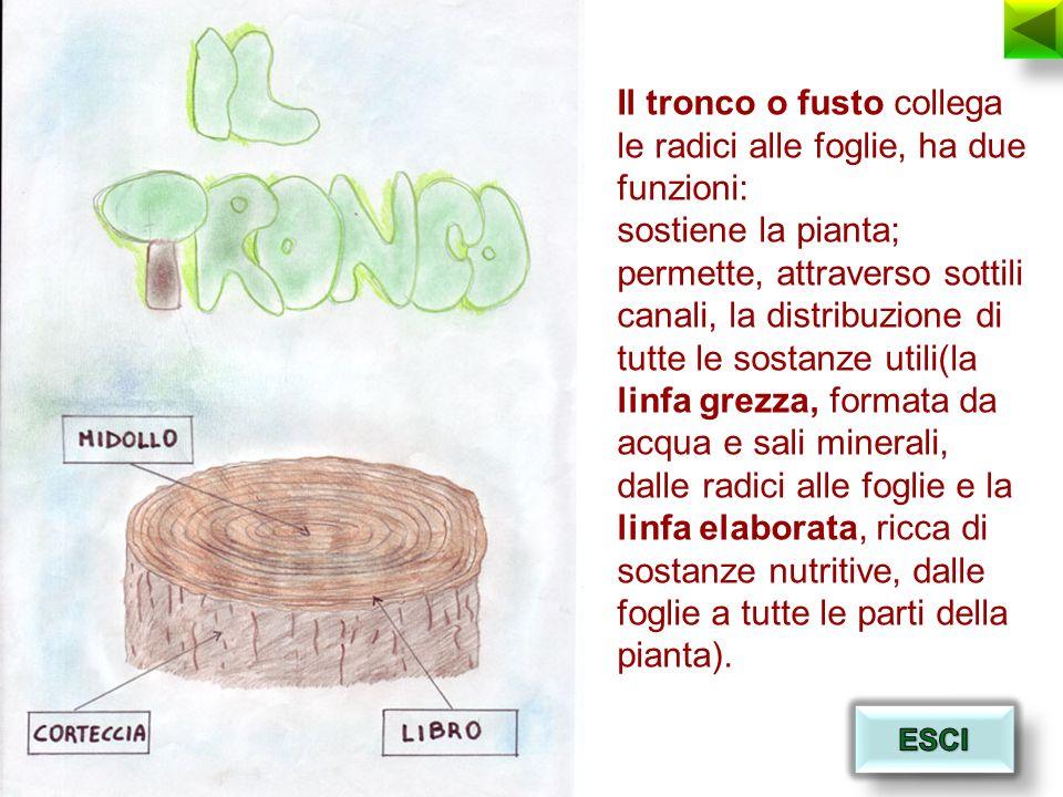 Il tronco o fusto collega le radici alle foglie, ha due funzioni: