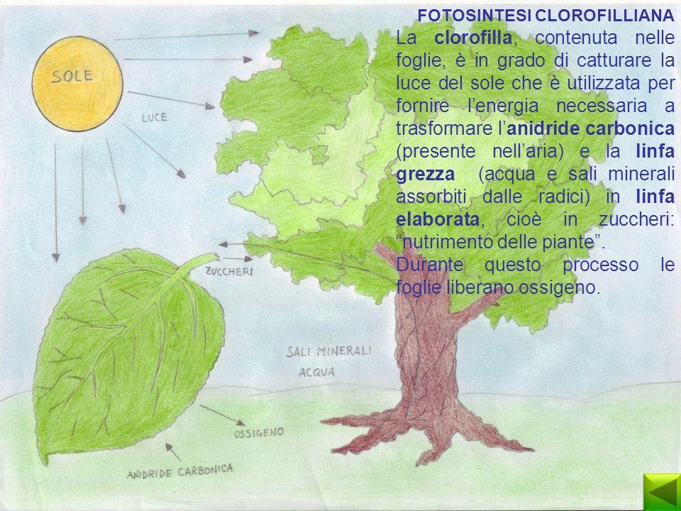 Durante questo processo le foglie liberano ossigeno.