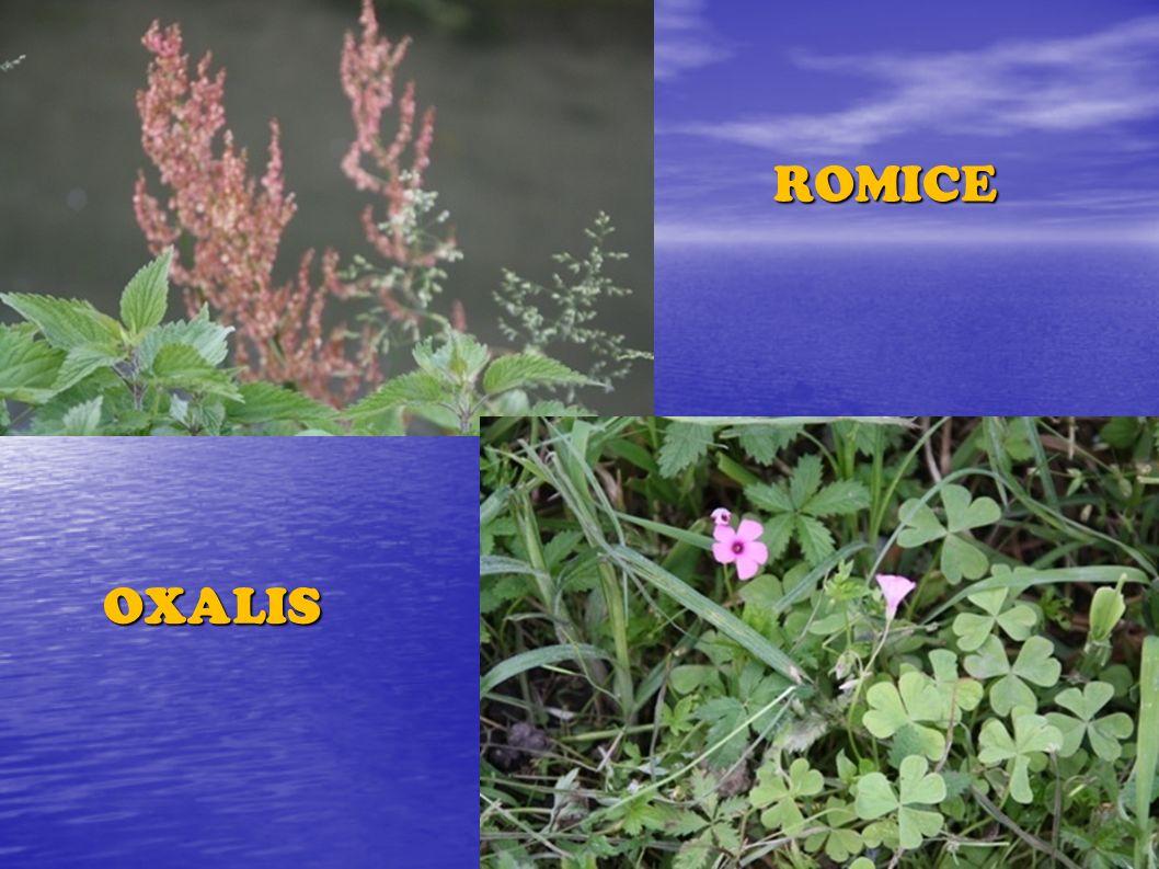ROMICE OXALIS